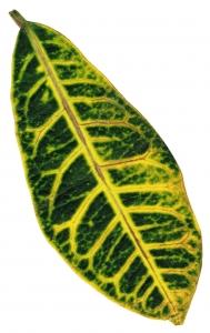 calathea - pěstování