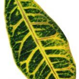 Calathea – pěstování